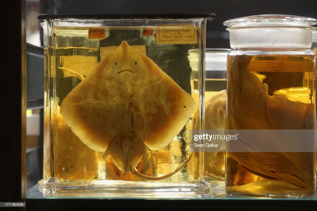 Sting rays and other creatures lie preserved in alcohol in the East Wing of the Natural History Museum (Naturkundemuseum) on June 21, 2013 in Berlin, Germany. The East Wing houses a three-storey steel and glass structure in which 276,000 glass cylinders lining 12.6 kilometers of shelves contain over one million fish, reptiles, mammals, spiders, worms, crabs, insects and invertebrae, some of which date back to the 18th century. The original East Wing was destroyed by Allied bombing during World War II and the new wing was completed in 2010.