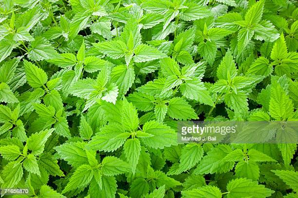 Stinging nettle, close-up