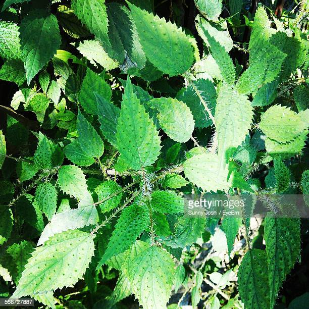 Stinging Nettle Growing In Park