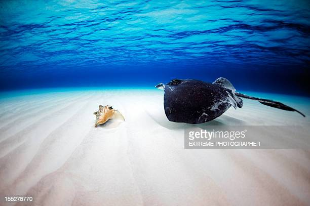 Stingray and a clam