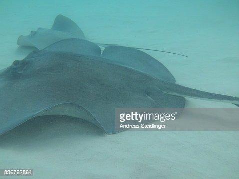 Stingray City - Grand Cayman Island : Stock Photo