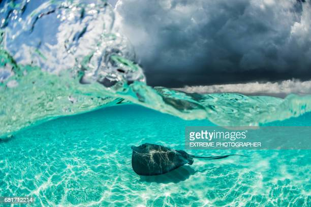 Stingray fish in the water