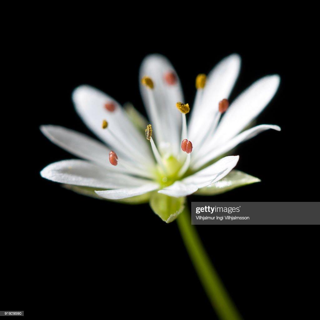 Stitchwort flower  : Stock Photo