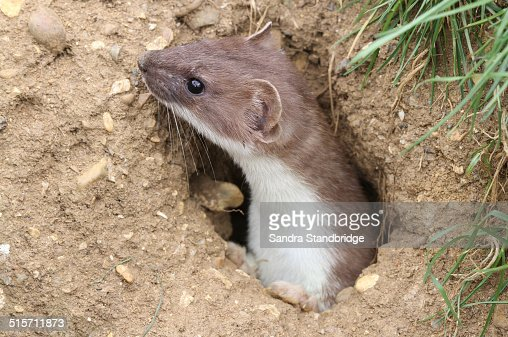 Stoat emerging from it's burrow