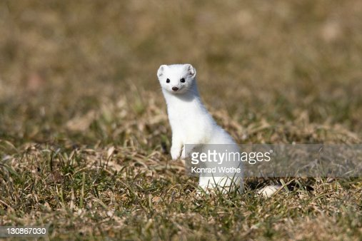 Stoat, ermine (Mustela erminea) in winter coat, Germany, Europe