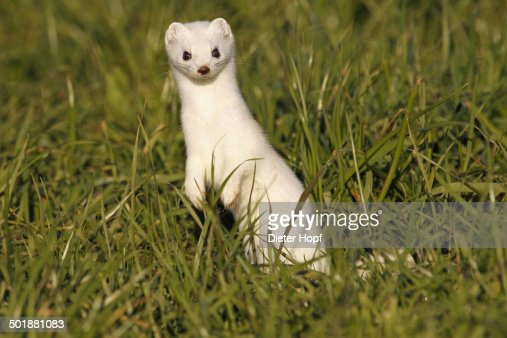 Stoat, Ermine or Short-tailed weasel -Mustela erminea-, winter fur, Allgau, Bavaria, Germany