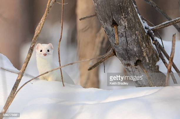 A stoat with its winter coat