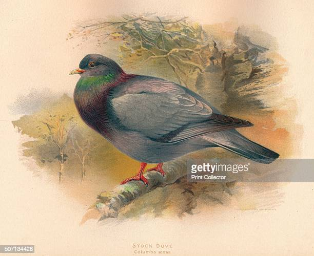 Stock Dove ' From The Game Birds and Wild Fowl of The British Islands by Charles Dixon illustrated by Charles Whymper [Pawson Brailsford Sheffield...