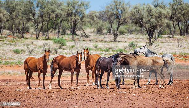 Stock horses Bulloo Shire QLD