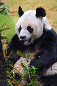 A stock photo of a panda in a zoo enclosure, resting and eating shoots and leaves. Hong Kong Asia.