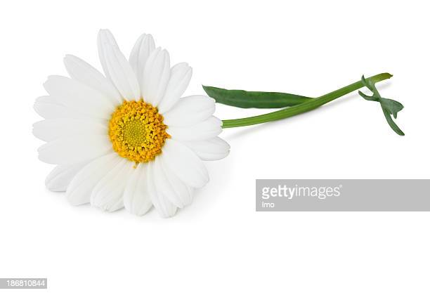 Stock photo of a white daisy on a white background