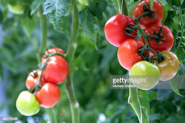 Stock shot of Tomatoes on the plant in a local hot house