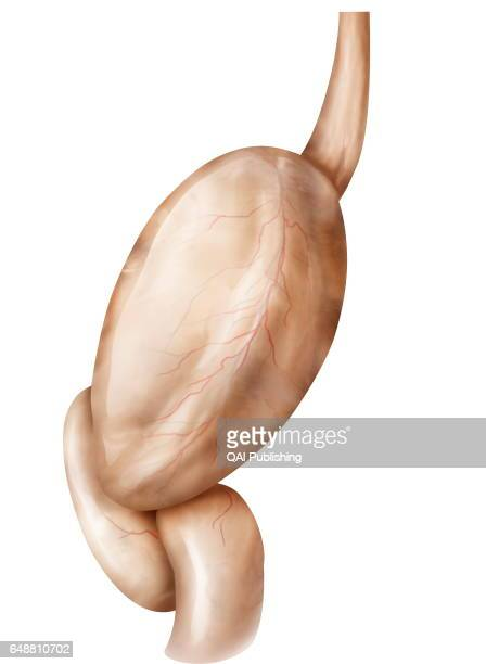 Stomach lateral view Dilated section of the digestive tract it stores stirs and mixes food with the gastric juices it secretes before emptying it...