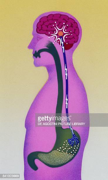 Stomach sends a signal to the brain that produces satiety drawing