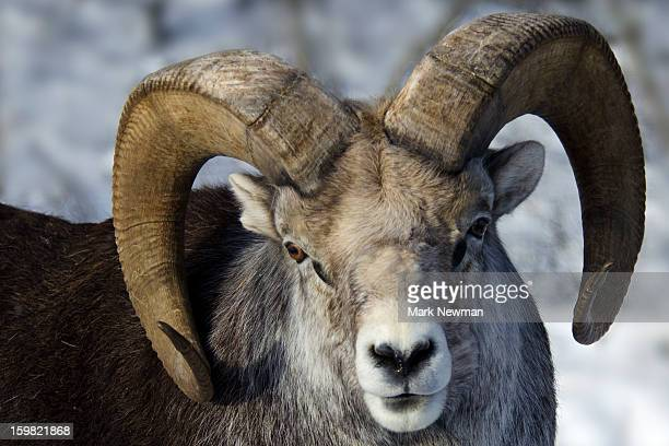 Stone Sheep ram portrait