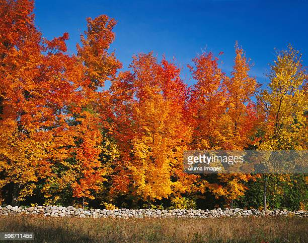 Stone wall and sugar maples in autumn