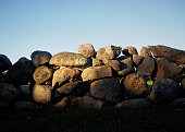 Late afternoon October light on a stone wall at Bourne Farm in West Falmouth, Massachusetts.