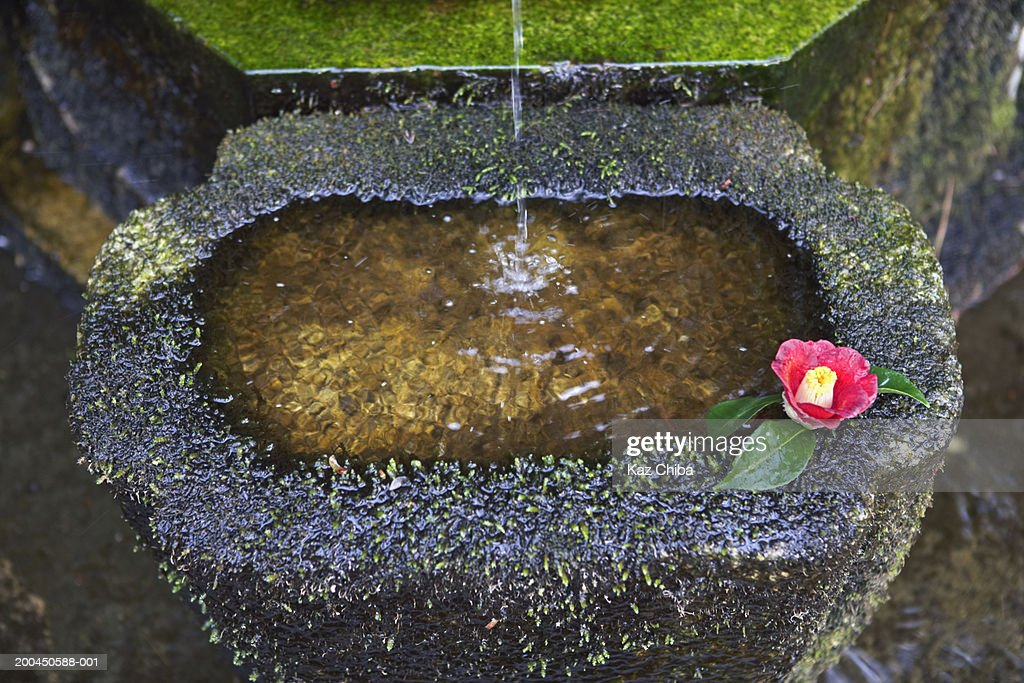 Stone water basin with Camellia japonica flower, elevated view : Stock Photo