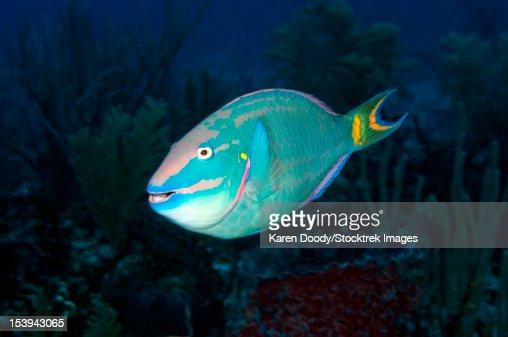 Stoplight Parrotfish on Caribbean reef.