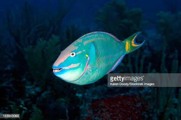 Stoplight Parrotfish on Caribbean reef.
