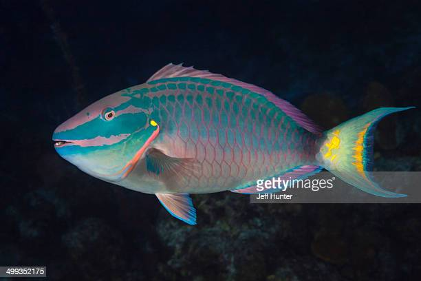 Stoplight parrotfish on tropical coral reef