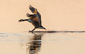 Stoppppp - Canada Goose (Branta canadensis) stopping on water