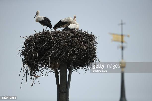 Storcks perch on their nest on a pole in the village center in Brandenburg state on July 24 2017 near Niewitz Germany Nesting storcks are a common...