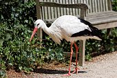 Stork By Park Bench