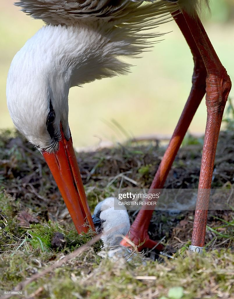 A stork cares for its chicks in their nest at the Eekholt wildlife park near Grossenaspe, northern Germany, on May 2, 2016. / AFP / dpa / Carsten Rehder / Germany OUT
