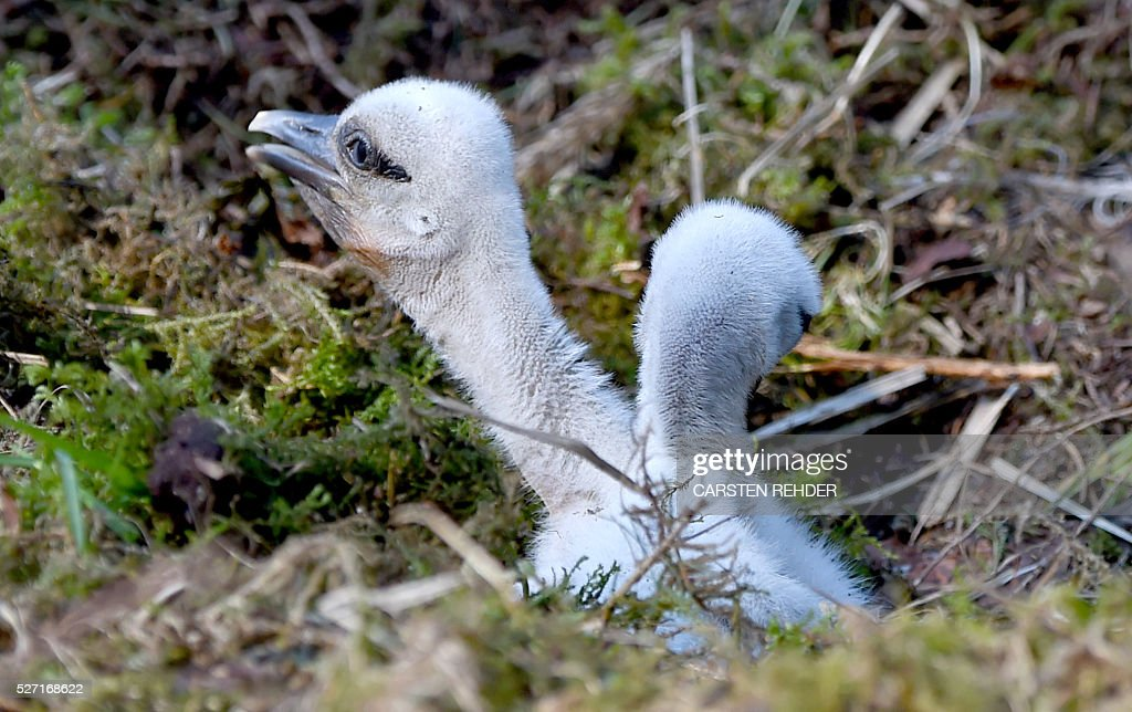 Stork chicks sit in their nest at the Eekholt wildlife park near Grossenaspe, northern Germany, on May 2, 2016. / AFP / dpa / Carsten Rehder / Germany OUT