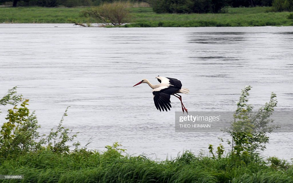 A stork flies over a flooded plain of the Oder river on May 24, 2010 in Lebus, eastern Germany, near the Polish German border. Public authorities expect the highest level of the flood wave to come to Germany on Wednesday or Thursday. The death toll from flooding in Poland rose to 15 Monday as torrential rain swelled major rivers to levels unseen in more than a century and rescuers from across Europe battled to prevent further tragedy.