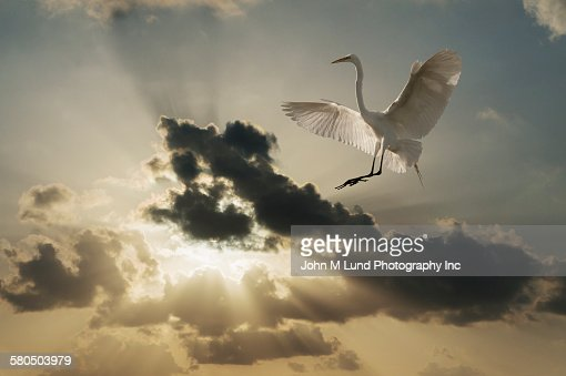 Stork flying in dramatic sky