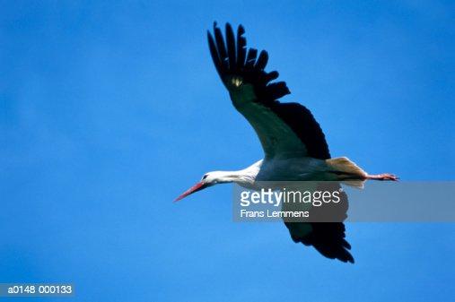 Stork Flying : Stock Photo