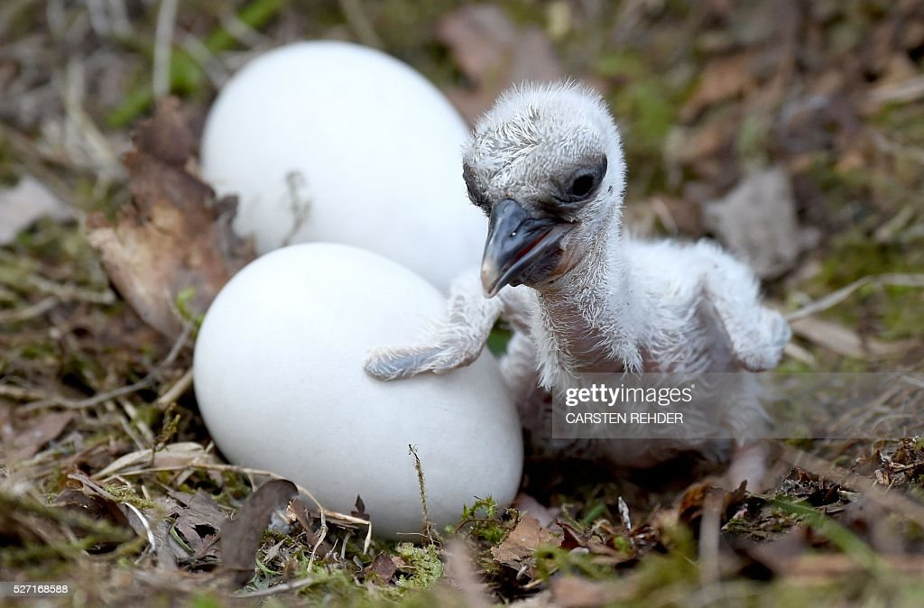 A stork hatchling sits next to the eggs of its siblings at the Eekholt wildlife park near Grossenaspe, northern Germany, on May 2, 2016. / AFP / dpa / Carsten Rehder / Germany OUT