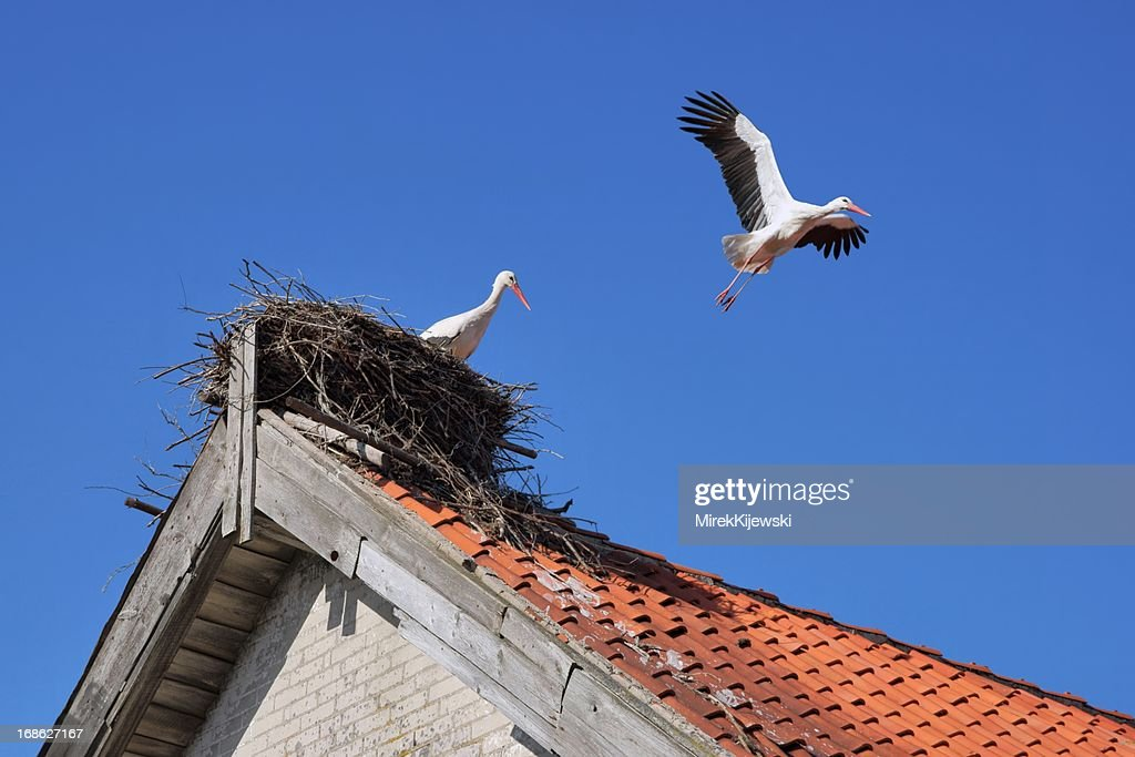 Stork in a nest on the roof of farm building : Stock Photo