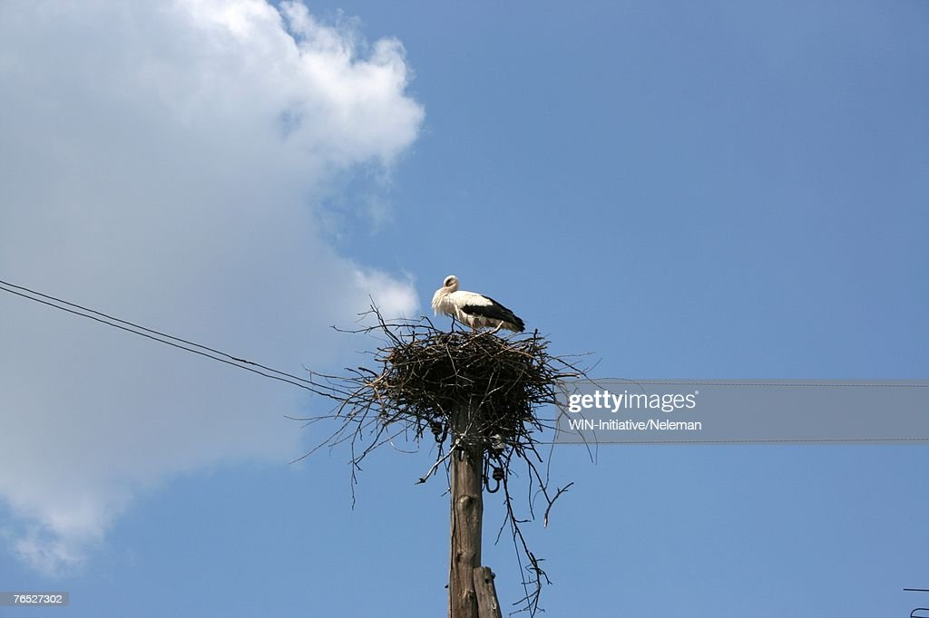 Stork in nest, low angle view : Stock Photo