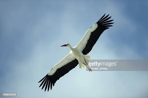 A stork is flying near Biebesheim at Rhine on March 13 2013 in Frankfurt am Main Germany Snow blanketed much of Europe canceling hundreds of flights...