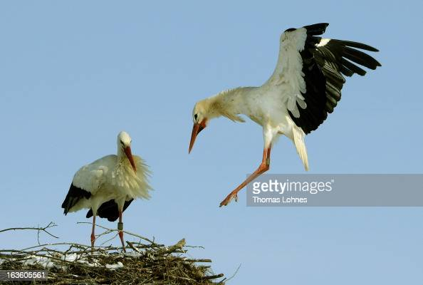 A stork is landing in the nest near Biebesheim at Rhine on March 13 2013 in Frankfurt am Main Germany Snow blanketed much of Europe canceling...