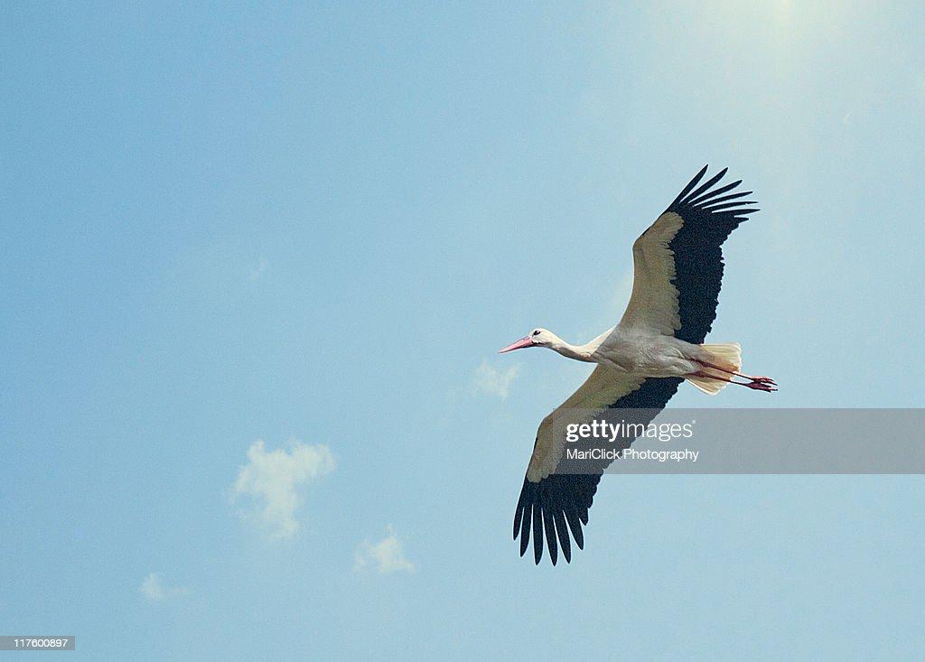 Stork : Stock Photo