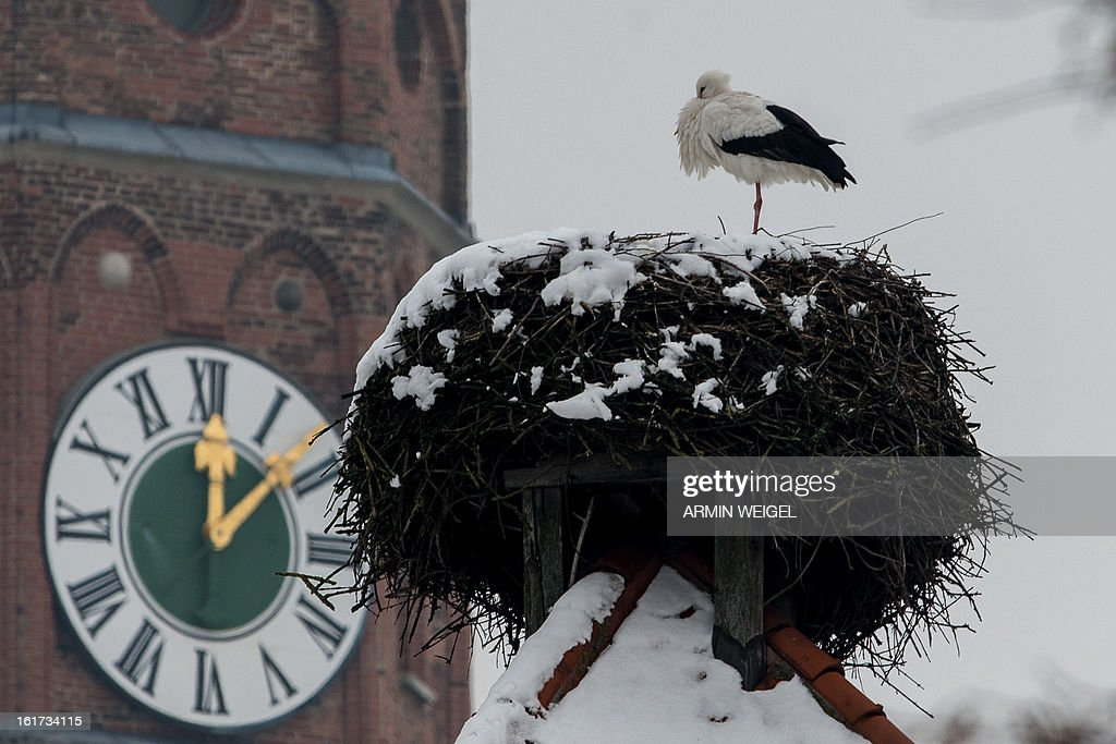 A stork sits on his snowy nest near the Sankt Jakob basilica in Straubing, southern Germany, on February 14, 2013. It's becoming more and more common that the migratory birds stay in Bavaria during the winter period or turn back early from the South.