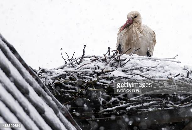 A stork sits on its nest covered in snow on April 2 2015 in Treplin northeastern Germany Spring is taking a break bringing storm rain and snow to...