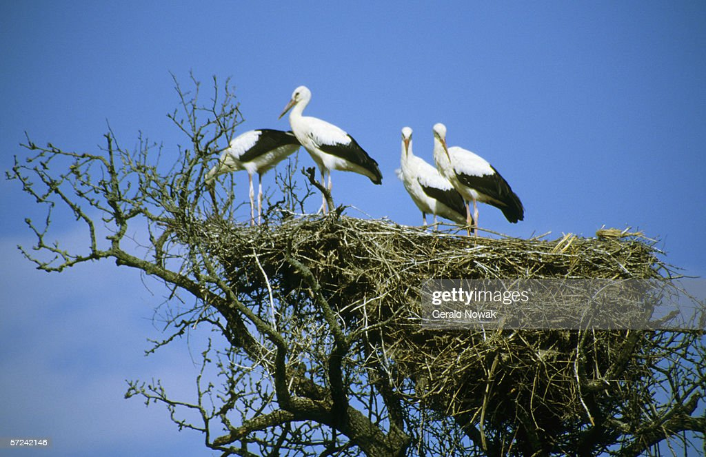 Storks in nest, low angle view : Stock Photo