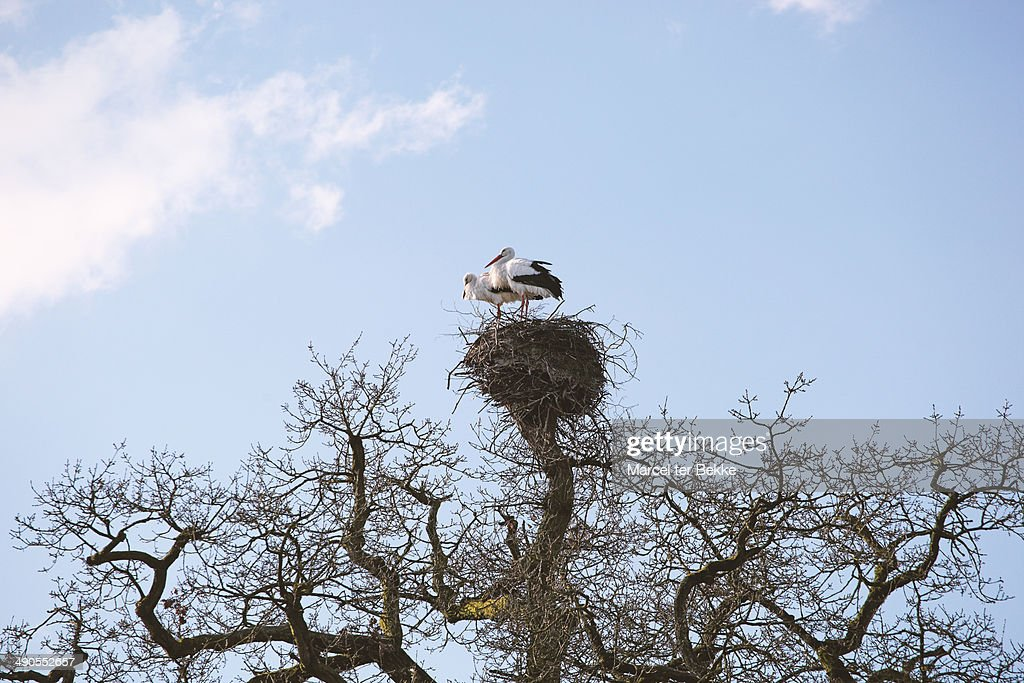 Storks on a nest : Stock Photo