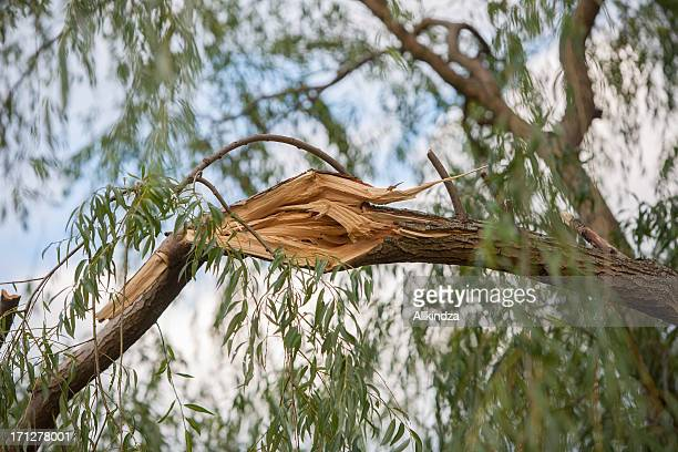 storm damaged willow tree branch
