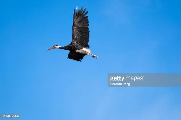 Storm Stork