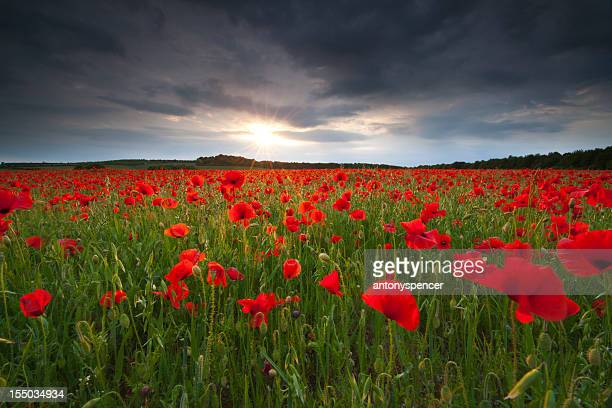 Stormy poppyfield sunset