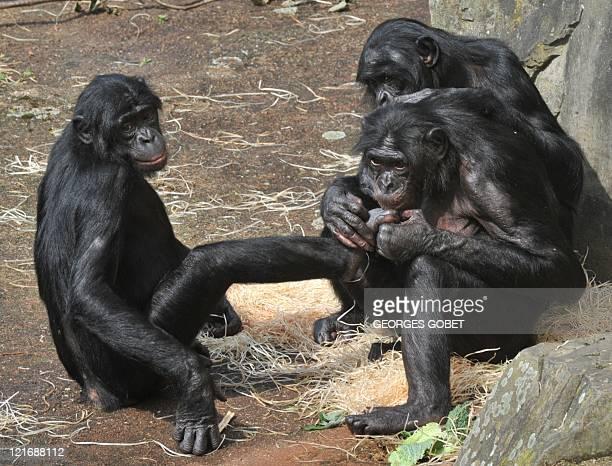 une femelle bonobo sacrée 'singe le plus intelligent du monde' Female bonobos play together at the Planckendael zoo on August 18 2011 Djanoa seized...