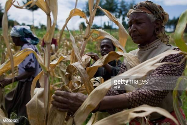 Le PAM nouveau débouché pour les petits fermiers de Bomet Kenyan farmers pick through their maize crop in a field in the village of Kapsimatwa near...