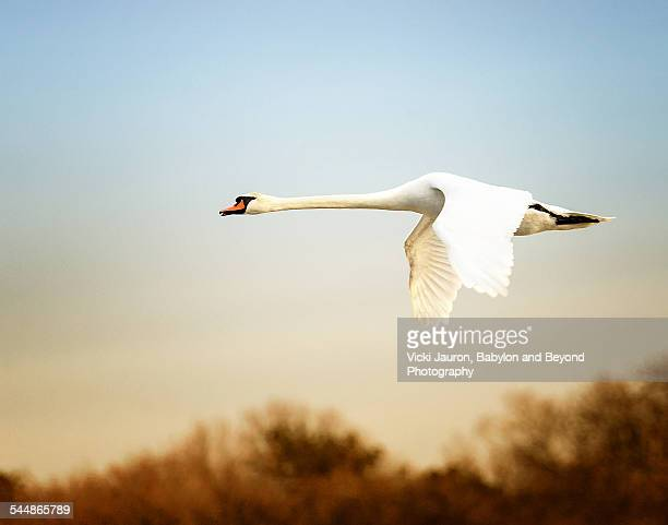 Straight Swan Flight at Wertheim Wildlife Preserve