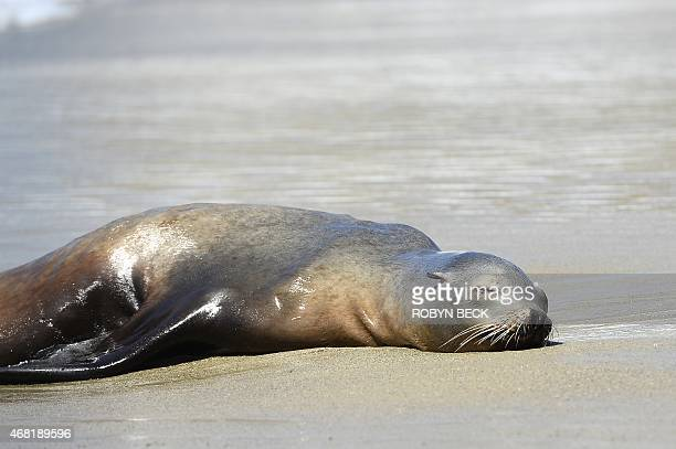 A stranded adult sea lion is seen in the sand in Laguna Beach California on March 30 2015 Record numbers of starving baby sea lions continue to wash...